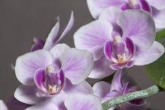 Phalaenopsis orchidea kwitnie motyliej orchidei zdjęcie stock