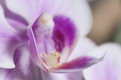 Phalaenopsis orchidea kwitnie motyliej orchidei obrazy stock
