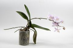 Phalaenopsis orchidea (motylia orchidea) Obrazy Royalty Free