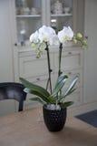 Phalaenopsis orchidea w wnętrzu Obraz Stock