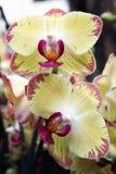 Phalaenopsis orchidea z kolorowymi kwiatami Zdjęcia Royalty Free
