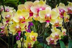 Phalaenopsis, Orchidee Stockfoto