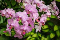 Phalaenopsis, Orchidee Stockbild