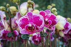 Phalaenopsis, Orchidee, Depts OCHSE HappyGirl, Motten-Orchidee Stockbilder