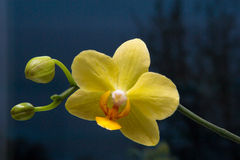 Phalaenopsis Orchidee. Yellow flower of an orchid with unblown buds Stock Photos