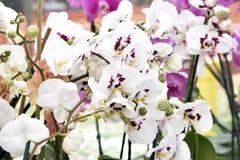 Phalaenopsis-Orchideen oder 'Motten-Orchidee' Stockfotografie
