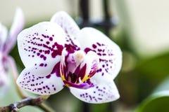 Phalaenopsis-Orchideenblume Lizenzfreie Stockbilder