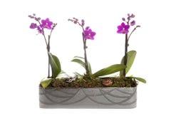 Phalaenopsis orchidei stołu dekoracja Zdjęcie Stock
