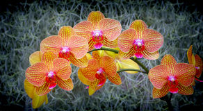 Phalaenopsis orchids Royalty Free Stock Photos