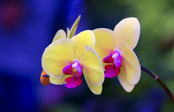 Phalaenopsis orchids Royalty Free Stock Images
