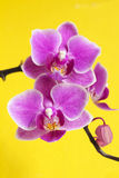 Phalaenopsis orchids. Stock Images