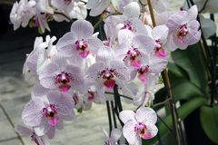 Phalaenopsis Orchids Stock Photography