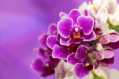 Phalaenopsis orchids. Two-tone white and purple flowers Phalaenopsis orchids Stock Photos