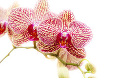 Phalaenopsis orchids Royalty Free Stock Photography
