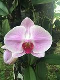 Phalaenopsis/orkidé Royaltyfria Bilder