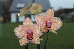 Phalaenopsis orkidémal blommar på den suddiga bakgrunden Arkivfoto