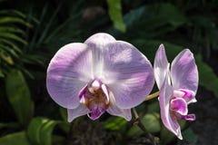 Phalaenopsis ou orchidées de mite une des orchidées de les plus populaires Images stock