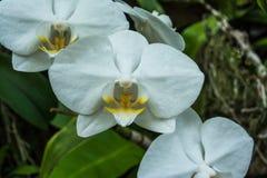 Phalaenopsis ou orchidées de mite une des orchidées de les plus populaires Images libres de droits