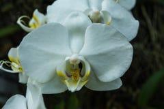 Phalaenopsis ou orchidées de mite une des orchidées de les plus populaires Photographie stock