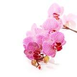Phalaenopsis. Royalty Free Stock Image