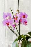 Phalaenopsis pink orchid decorative plant by the window Stock Images