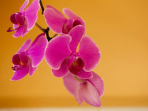 Phalaenopsis. Pink purple orchid flower indoor. Stock Photography