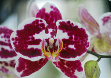 Phalaenopsis Pink white orchid flower Royalty Free Stock Photo