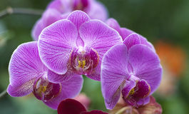 Phalaenopsis Pink white orchid flower Stock Photo
