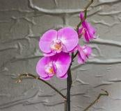 Phalaenopsis pourpre de fleur d'orchidée Plan rapproché photographie stock