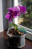 Phalaenopsis pourpre sur un rebord de fenêtre Image stock