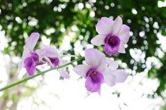 Phalaenopsis purple orchid Stock Image