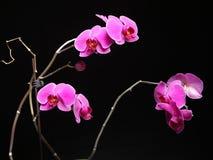 Phalaenopsis. Purple orchid on black background Stock Images