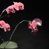 Phalaenopsis. Purple orchid on black background Stock Photography