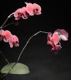 Phalaenopsis. Purple orchid on black background Royalty Free Stock Images