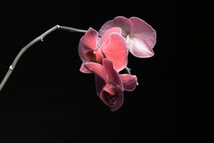 Phalaenopsis. Purple orchid on black background royalty free stock images
