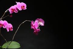 Phalaenopsis. Purple orchid on black background Royalty Free Stock Image