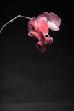 Phalaenopsis. Purple orchid on black background Royalty Free Stock Photography