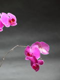 Phalaenopsis. Purple orchid on gray background Royalty Free Stock Photos