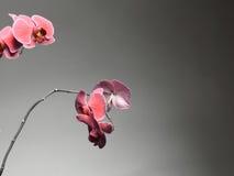 Phalaenopsis. Purple orchid on gray background Royalty Free Stock Image