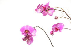 Phalaenopsis. Purple orchid on white background Royalty Free Stock Photography
