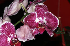 Phalaenopsis Purple white spotted royalty free stock photo