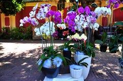 Phalaenopsis. Różowa i biała orchidea zdjęcie royalty free
