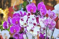 Phalaenopsis. Różowa i biała orchidea obrazy royalty free