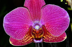 Phalaenopsis Red Jewel orchid Stock Photography