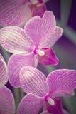 Phalaenopsis rosa dell'orchidea Fotografia Stock Libera da Diritti