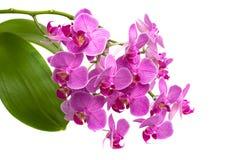 Phalaenopsis rosado de la orquídea Imagen de archivo libre de regalías