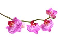 Phalaenopsis rosado de la orquídea Imagen de archivo