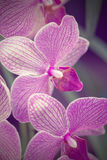 Phalaenopsis rosado de la orquídea Fotografía de archivo libre de regalías
