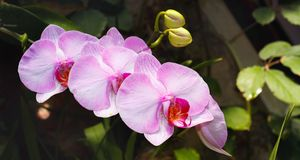 Phalaenopsis rosado hermoso Sanderiana de la variedad de la rama de la orquídea imagen de archivo libre de regalías