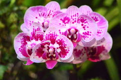 Phalaenopsis Roze Bloemen Royalty-vrije Stock Afbeelding